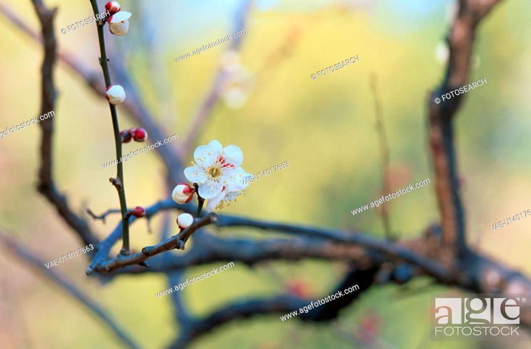 Stock Photo: Flowering Branch Of Plum Tree.
