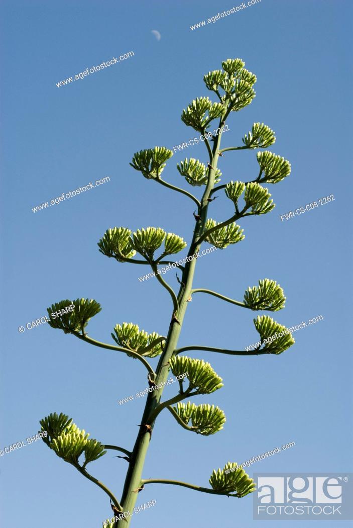 Stock Photo: Agave, Agave americana marginata.