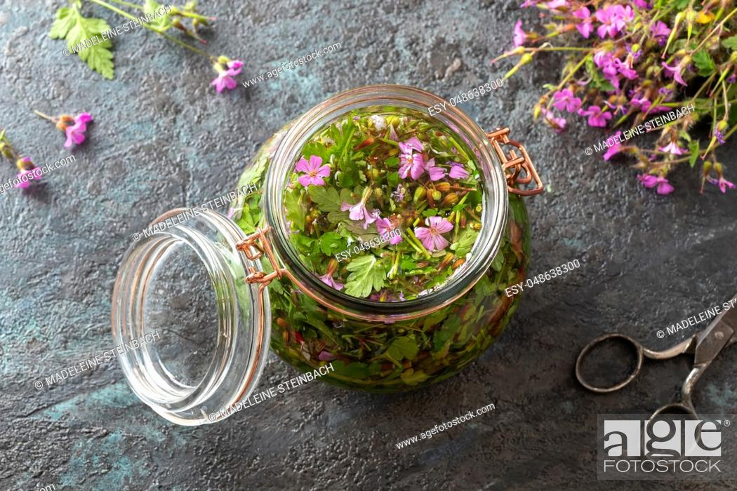 Imagen: Preparation of alcohol tincture from fresh herb-Robert plant.