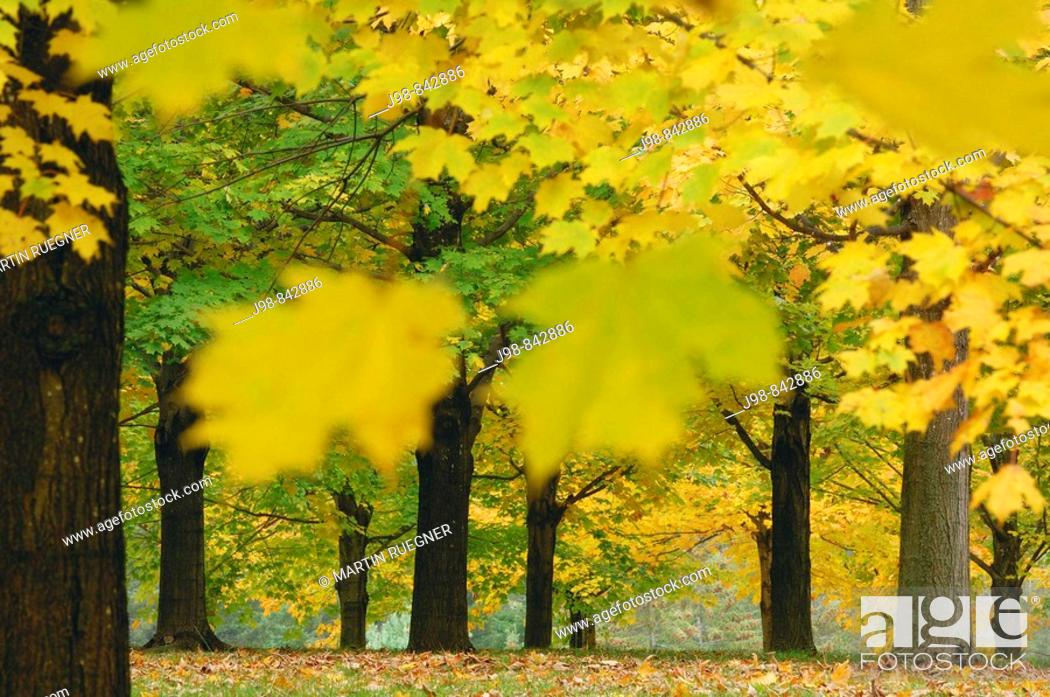 Stock Photo: Maple Tree Acer sp with fall foliage Vermont, USA, America.