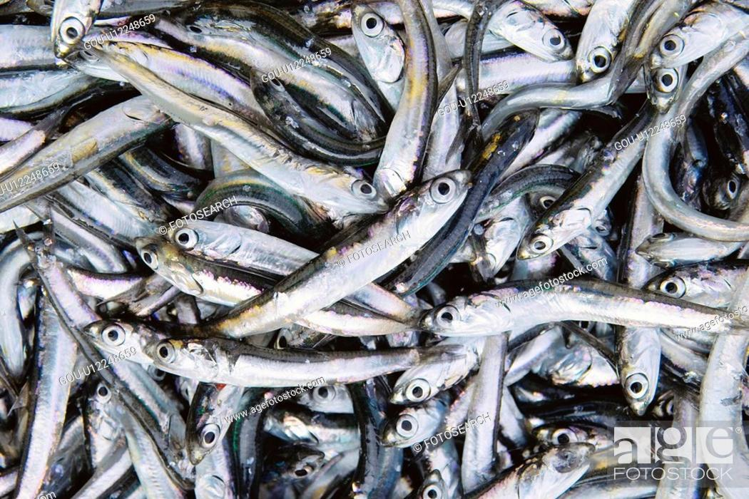Stock Photo: Anchovy.