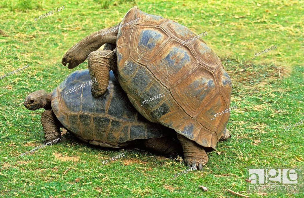 Stock Photo: MATING TURTLE, MADAGASCAR.