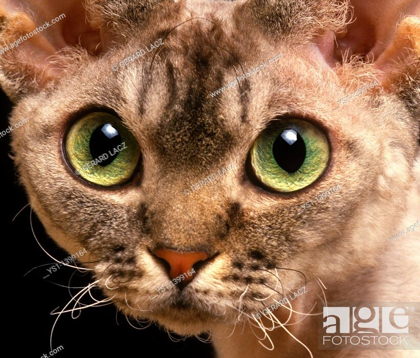 Stock Photo: Devon Rex Domestic Cat, Portrait of Adult.