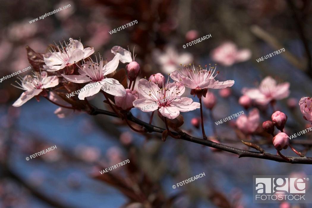 Stock Photo: bloom, blossom, blue, branch, germany, Holstein.