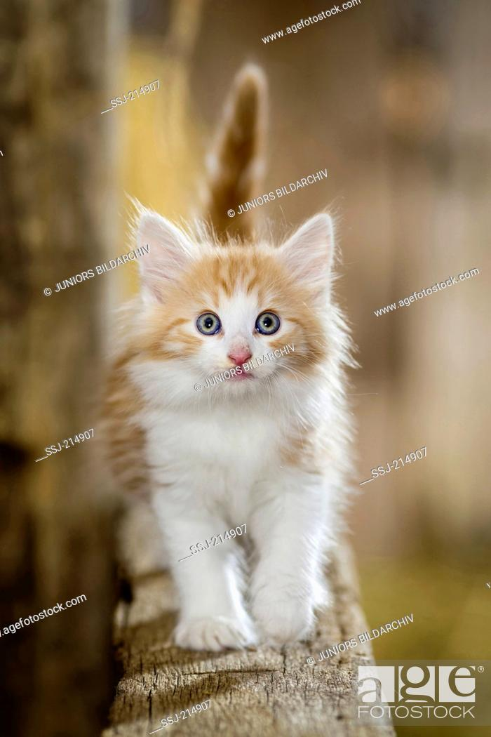 Stock Photo: Norwegian Forest Cat. Kitten in a barn, blancing on a wooden beam. Germany.