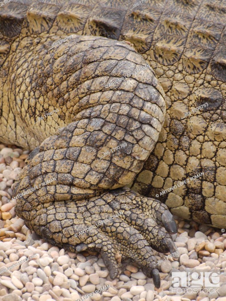 Stock Photo: scales and leg of Nile crocodile.