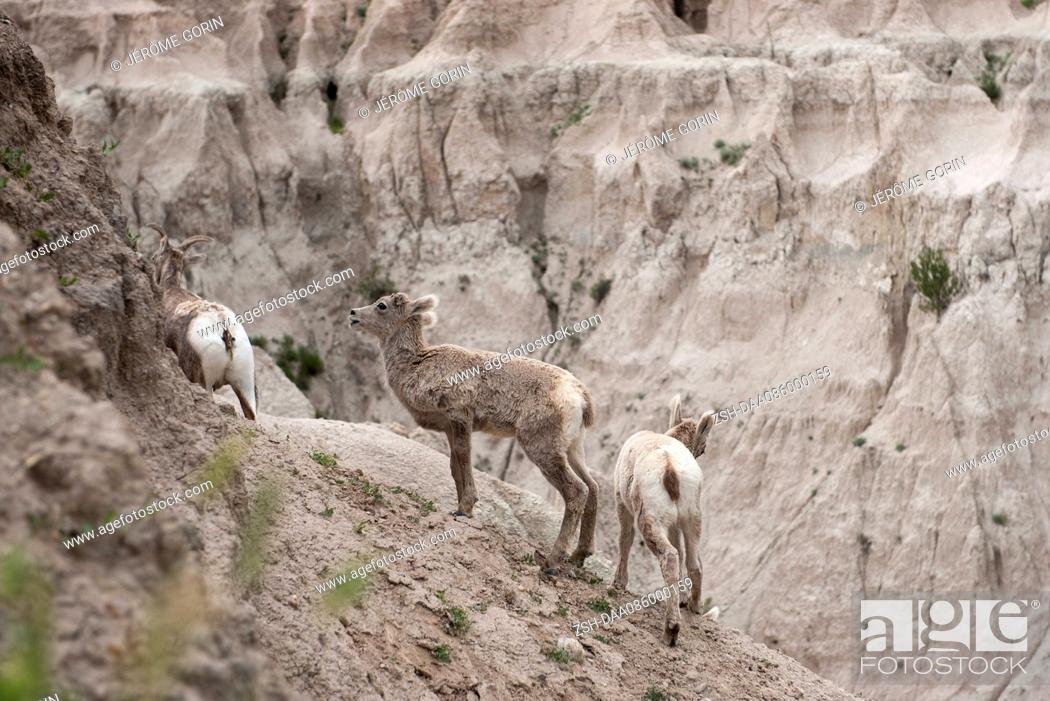 Stock Photo: Young bighorn sheep, Badlands National Park, South Dakota USA.