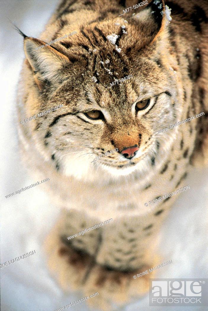 Stock Photo: Lynx, (Lynx lynx), snow, winter.
