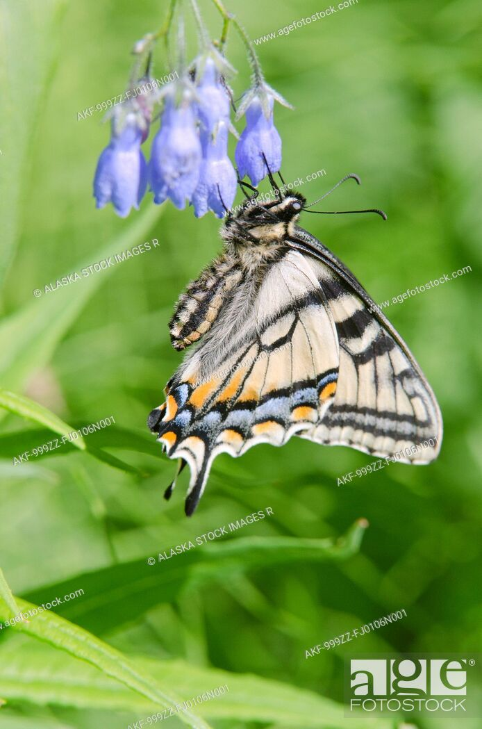 Stock Photo: Canadian Tiger Swallowtail Butterfly feeds on a Chiming Bell, Fairbanks, Interior Alaska, Summer.
