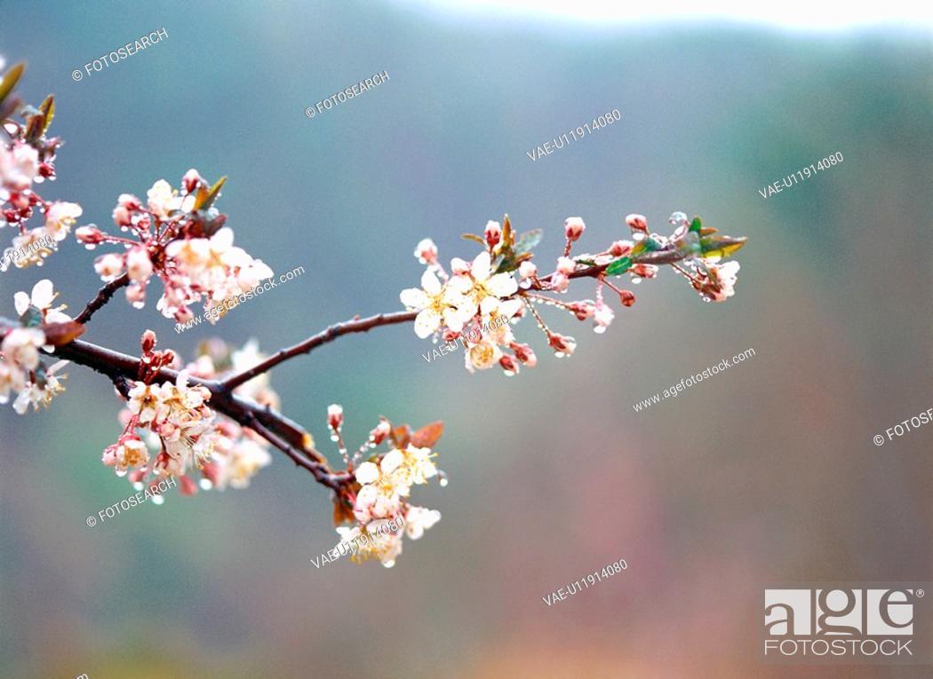 Stock Photo: cherryblossoms, flower, plants, plant, film.