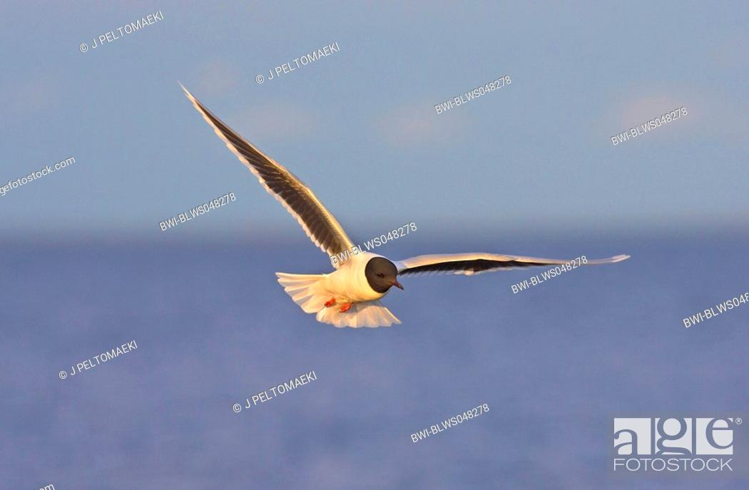 Stock Photo: little gull Larus minutus, flying, Finland.