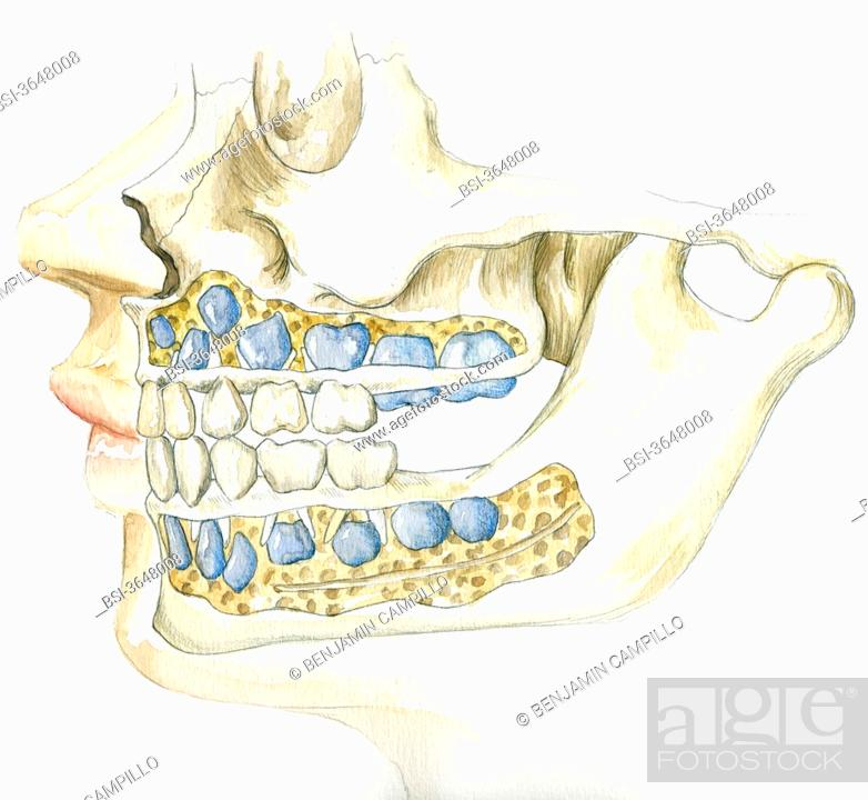 Baby Teeth And Permanent Teeth Stock Photo Picture And Rights