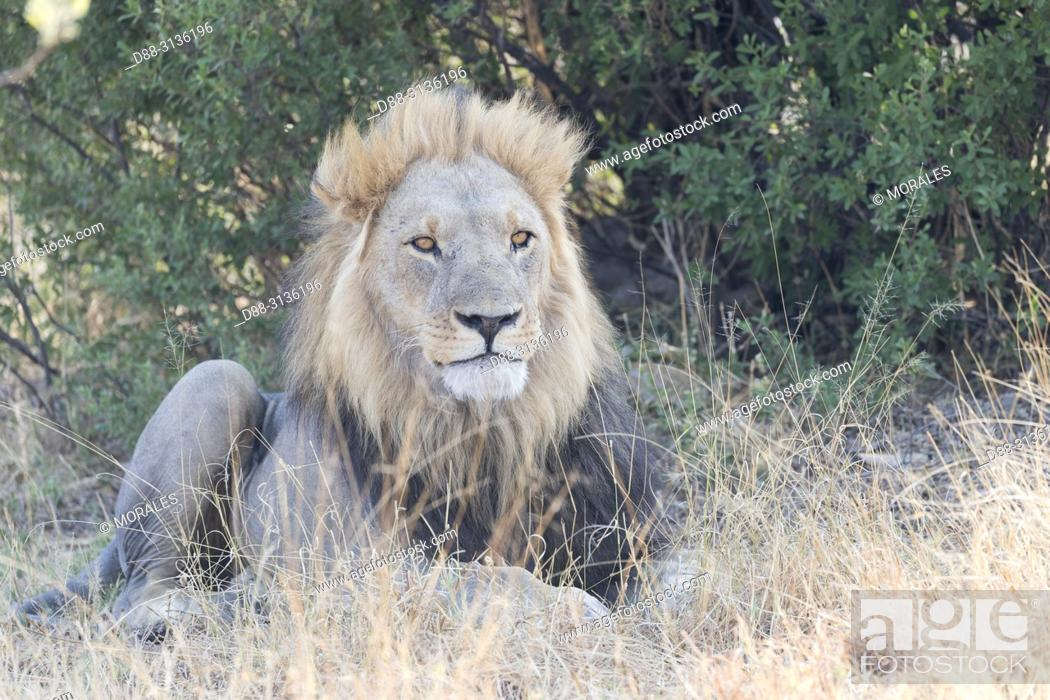 Stock Photo: Africa, Southern Africa, Bostwana, Savuti National Park, Lion (Panthera leo), adult male resting in the savannah.