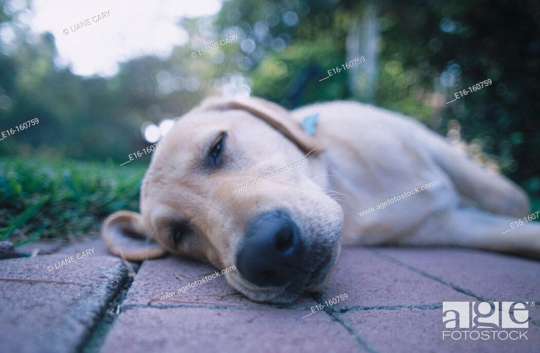 Stock Photo: Dog sleeping.