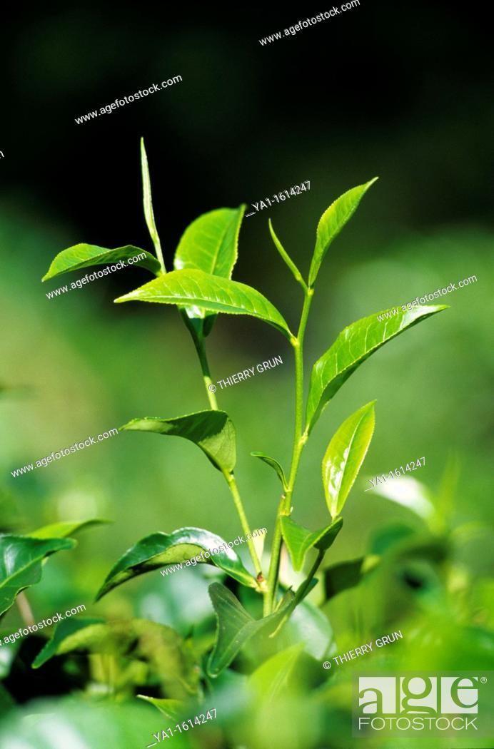 Stock Photo: Tea plant Camellia sinensis, surrounding of Kandy, Sri Lanka.