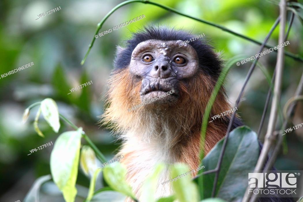 Stock Photo: portrait of a Western Red Colobus, Piliocolobus badius, sitting between plants in forest, The Gambia.
