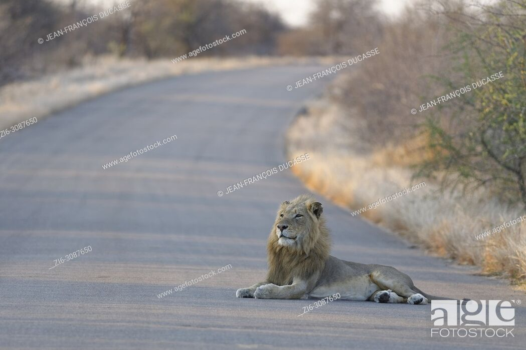 Stock Photo: African lion (Panthera leo), adult male lying in the middle of a tarred road at sunset, head up, Kruger National Park, South Africa, Africa.