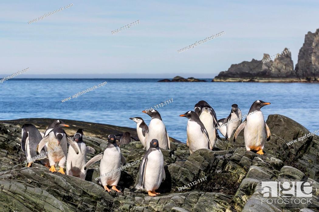 Imagen: Adult gentoo penguins (Pygoscelis papua) and chinstrap penguins (Pygoscelis antarctica), Elephant Island, Antarctica, Southern Ocean, Polar Regions.