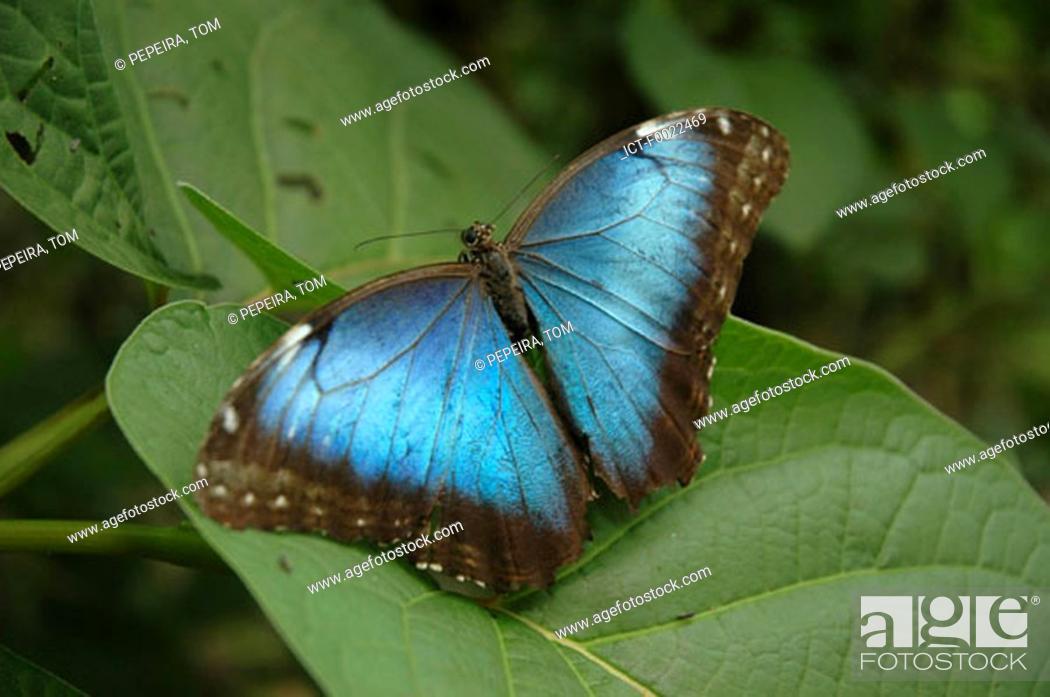 Stock Photo: Costa Rica, Sarapiqui, La Quinta Country Inn, butterfly.