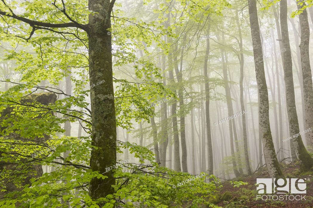 Stock Photo: Beech wood (Fagus sylvatica). Parque Natural Sierra de Urbasa. Navarra. Spain.