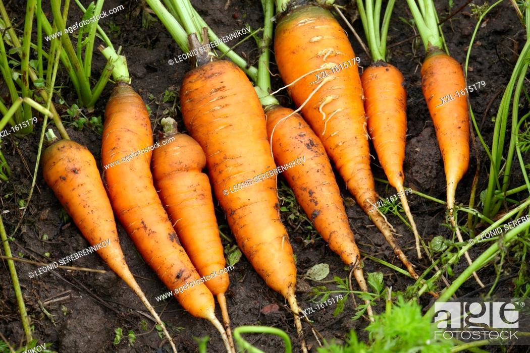 Stock Photo: Organically grown carrots  Scientific name: Daucus sativus.
