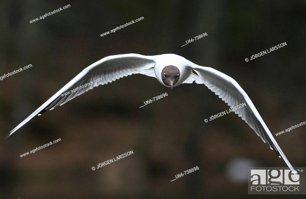 Stock Photo: The Black-headed Gull (Larus ridibundus).