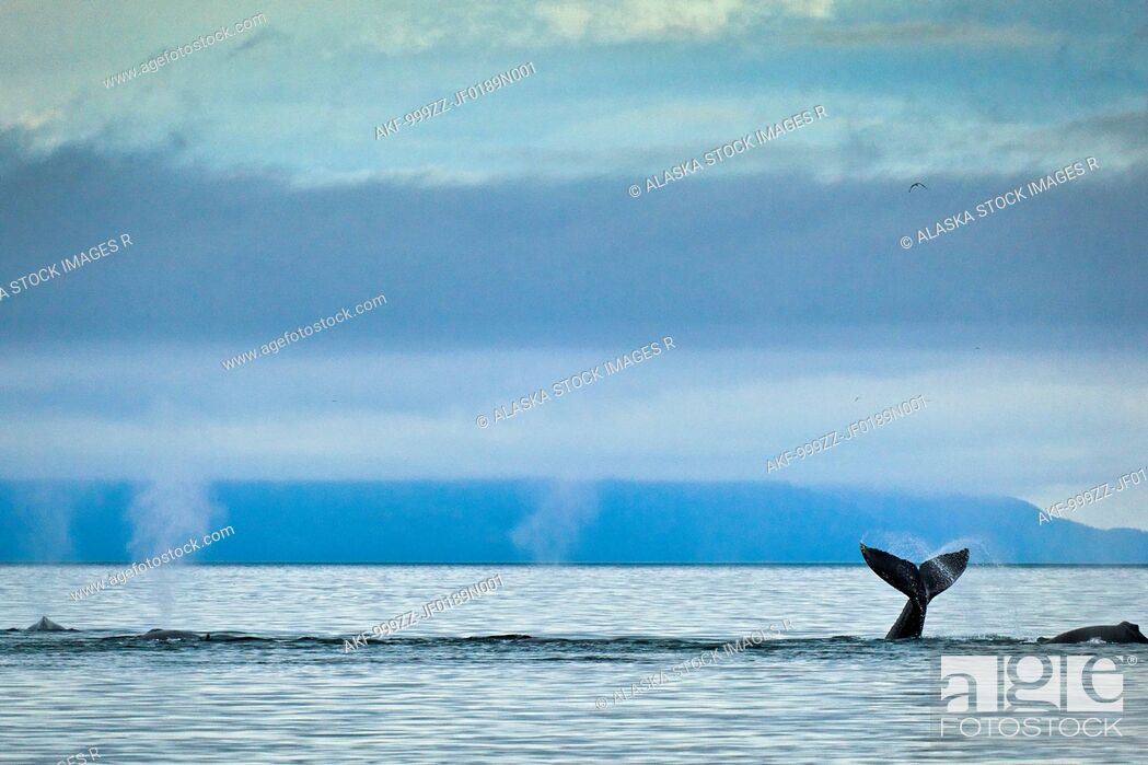 Stock Photo: Group of Humpback whales blowing & showing fluke in Icy Strait, Glacier Bay National Park & Preserve, Inside Passage, Southeast Alaska, Summer.