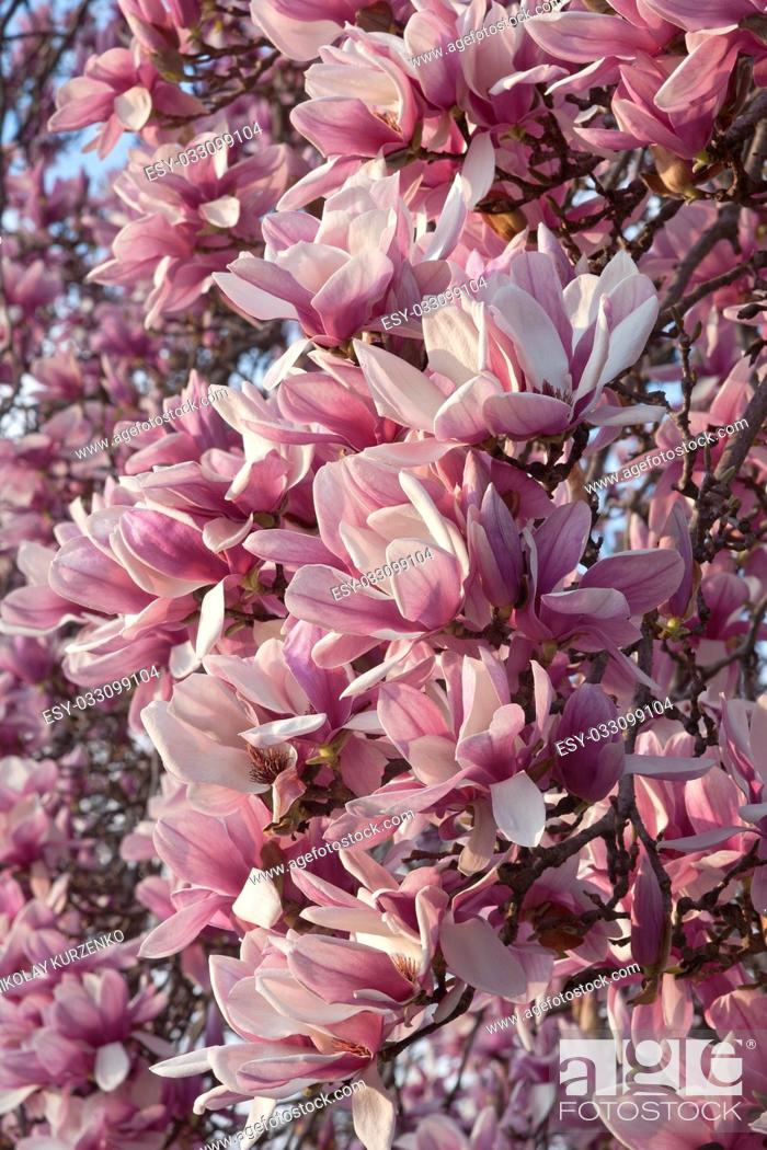 Stock Photo: Saucer magnolia (Magnolia x soulangeana). Hybrid between Magnolia denudata and Magnolia liliiflora. Called Chinese Magnolia and Tulip Magnolia also.