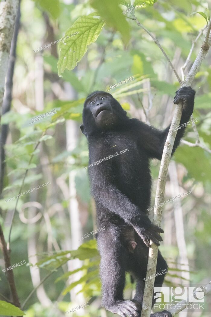 Stock Photo: Asia, Indonesia, Celebes, Sulawesi, Tangkoko National Park, . Celebes crested macaque or crested black macaque, Sulawesi crested macaque.