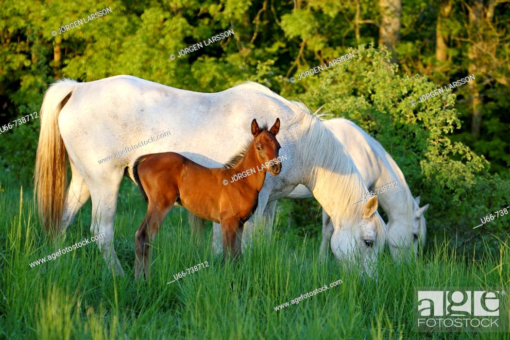 Stock Photo: Horses with foal. Skane, Sweden.