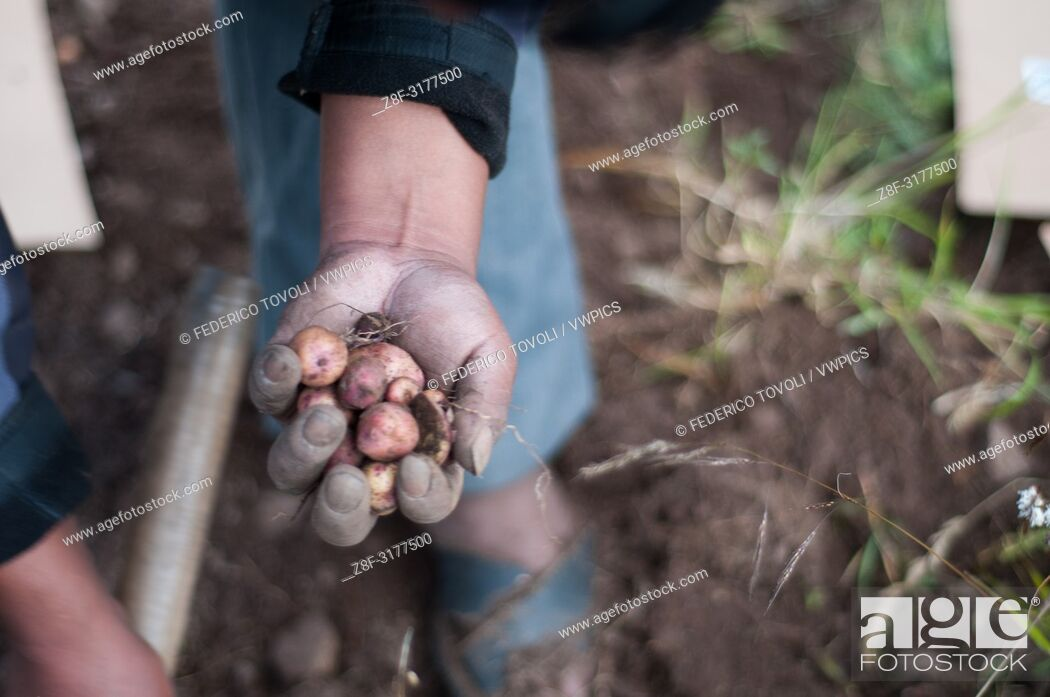 """Stock Photo: The CIP, the International Potato Center with headquarters in Lima is like a """"""""big brother"""""""" of the Potato Park, They provides the scientific knowledge."""