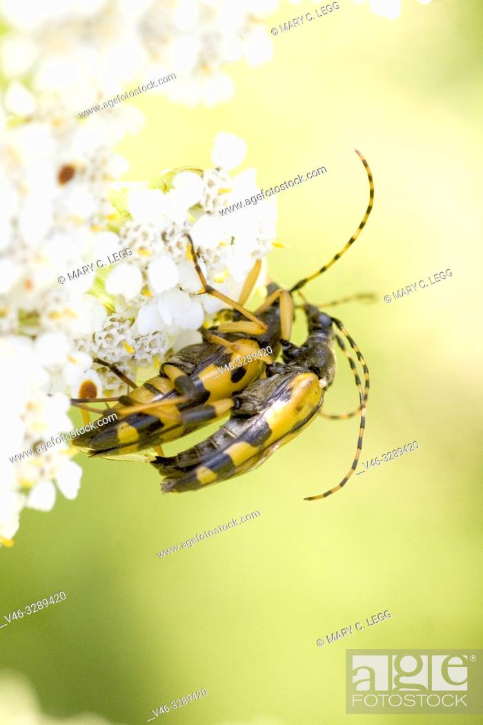 Stock Photo: Spotted Longhorn, Leptura maculata. Rutpela maculata, Strangalia maculata. Body size; 18-24mm. Bright yellow and black Longhorn Beetle with yellow and black.