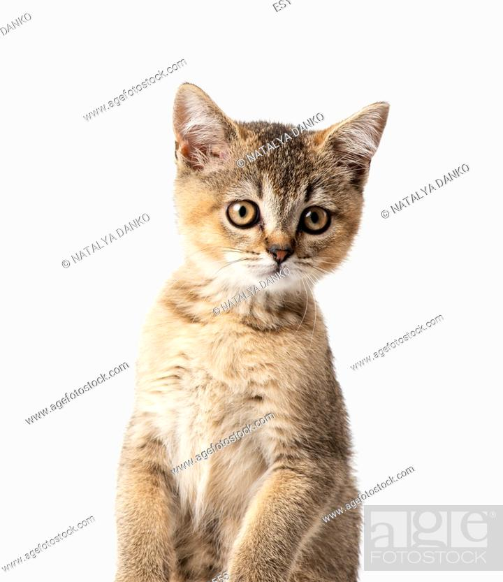 Stock Photo: Kitten golden ticked british chinchilla straight sits in front on a white background. Cat looking at the camera.