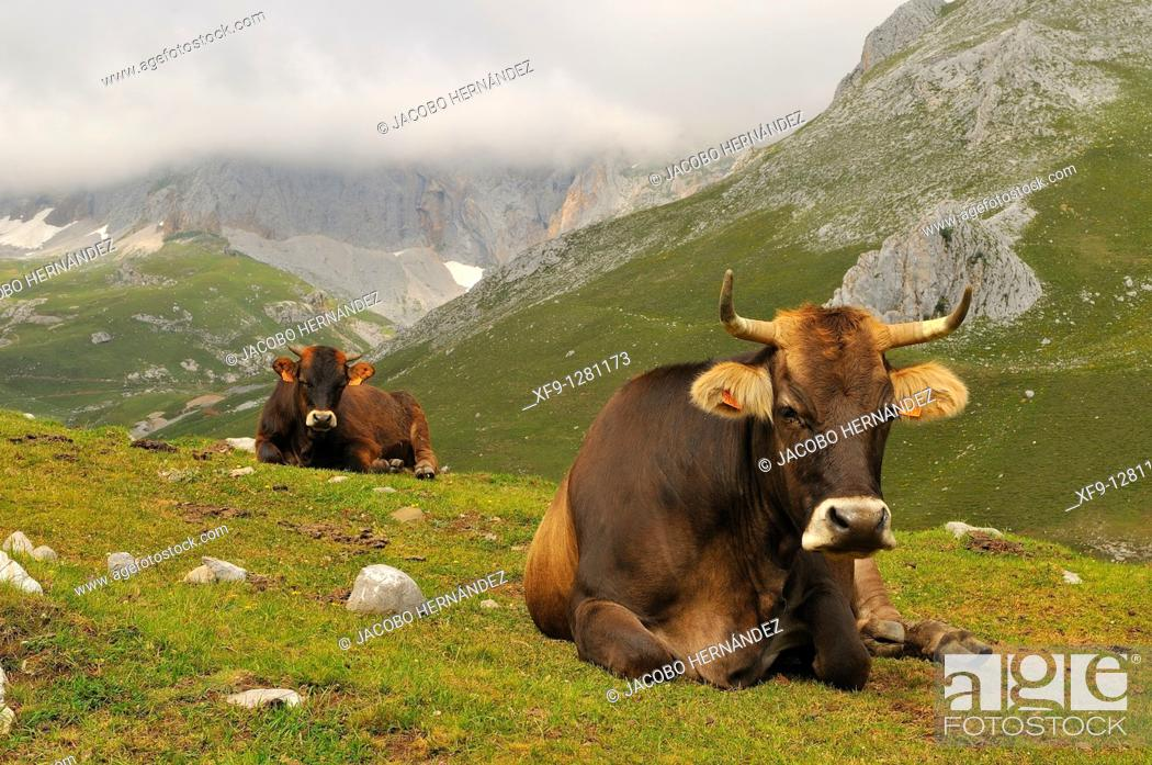 Stock Photo: Cows. Picos de Europa National Park. Asturias. Spain.