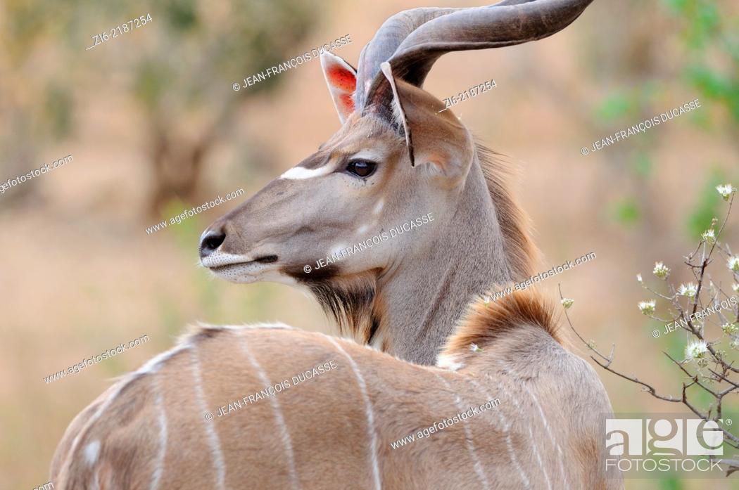 Stock Photo: Greater Kudu, (Tragelaphus strepsiceros), Kruger National Park, South Africa, Africa.
