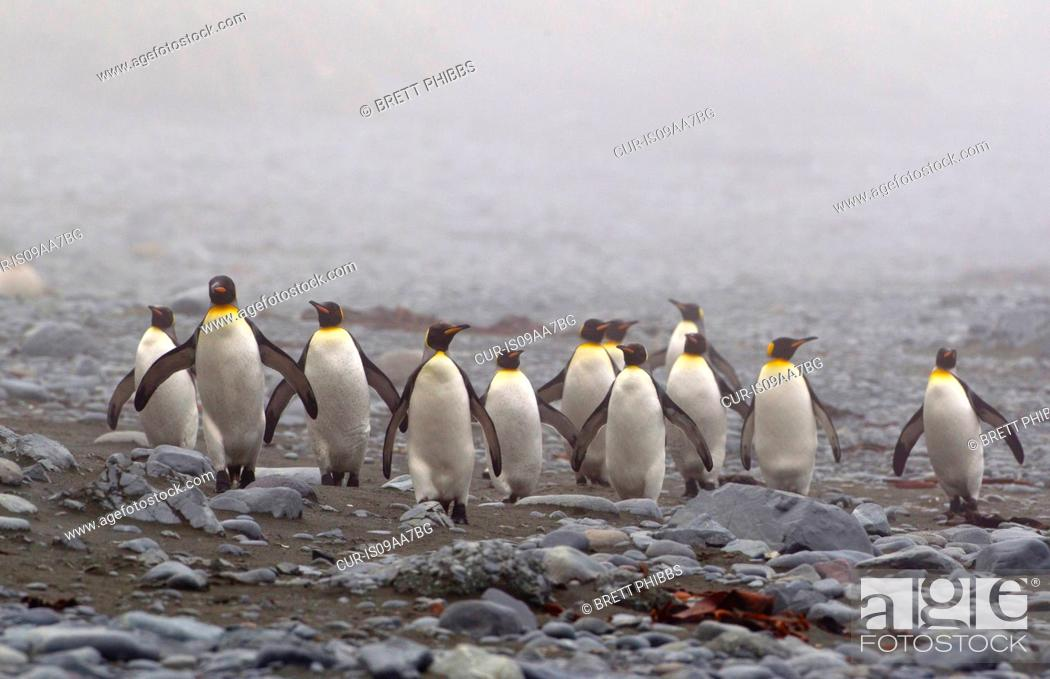 Stock Photo: King penguins, on a misty wind swept beach, along the north east coast of Macquarie Island, Southern Ocean.