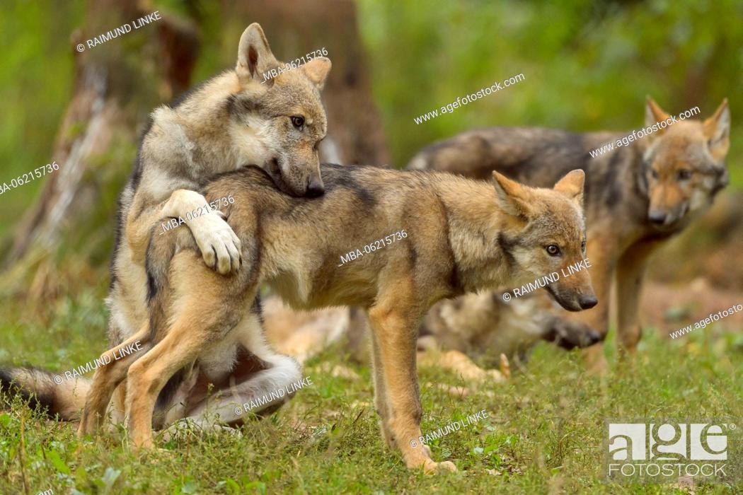 Stock Photo: European Gray Wolf, Canis lupus lupus, Young Wolves, Germany.