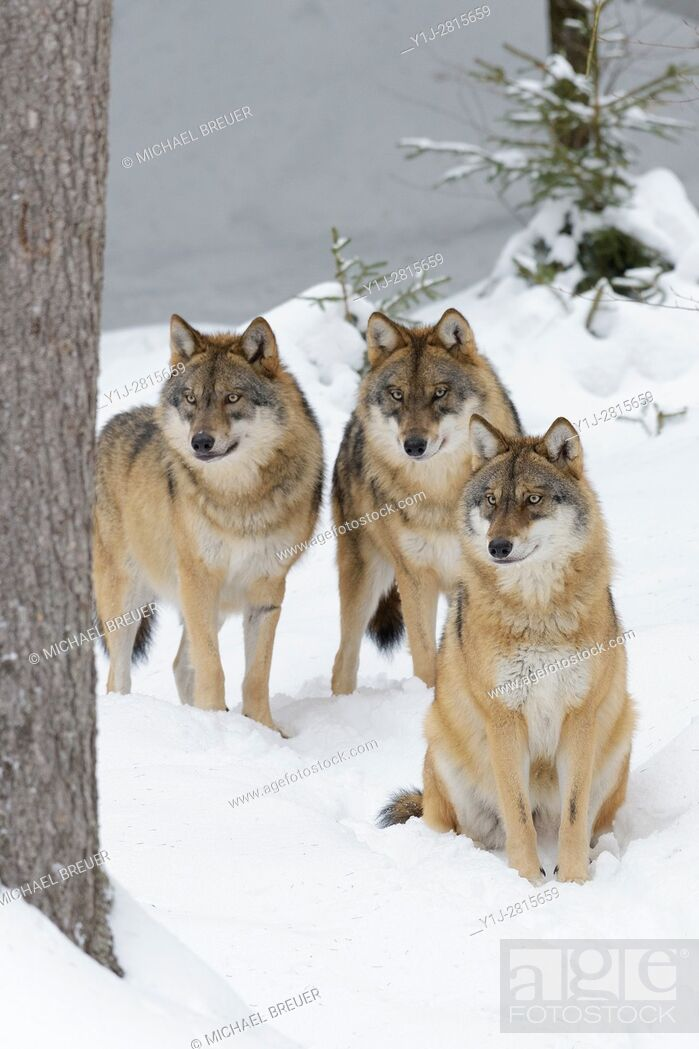 Stock Photo: European Wolves in Winter, Canis lupus, Bavarian Forest National Park, Germany, Europe.
