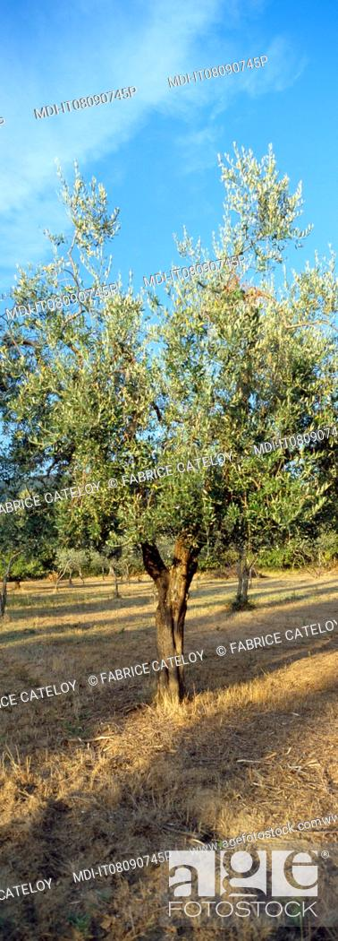 Stock Photo: Olive tree field on the flank of the Subasio Mount.