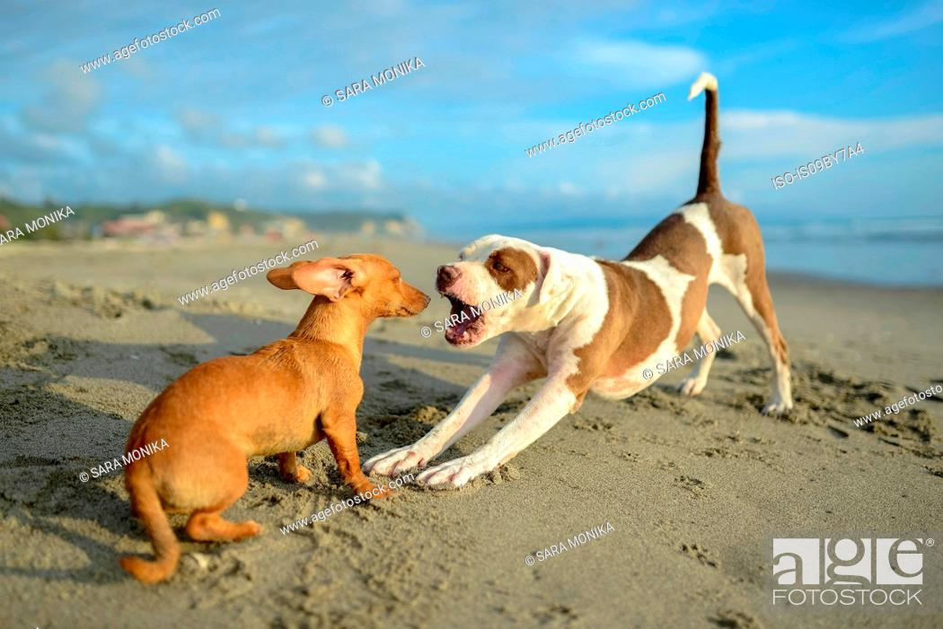 Stock Photo: Dogs playing on beach.