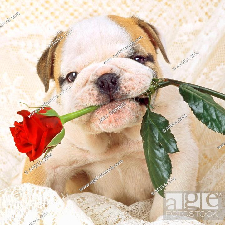 Photo de stock: Bulldog - puppy with rose Digital manipulation.