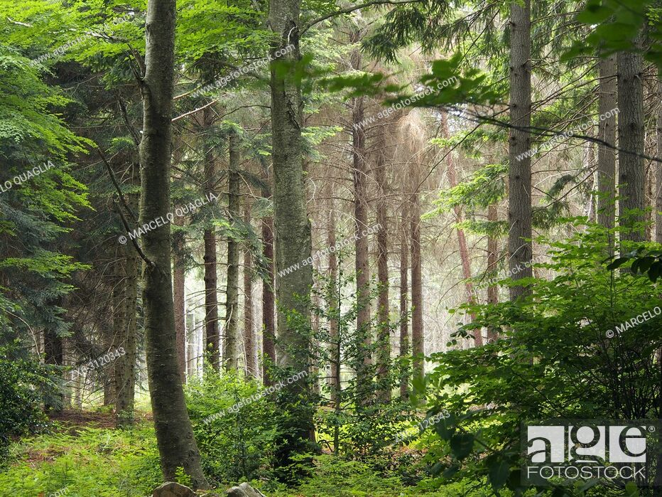 Stock Photo: Fir trees forest (Abies alba) surrounded by beech trees (Fagus sylvatica) at Pla del Rovirol site. Montseny Natural Park.