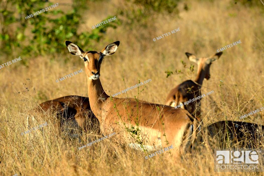 Imagen: South Africa, Mpumalanga, Kruger National Park, Impala (Aepyceros melampus).