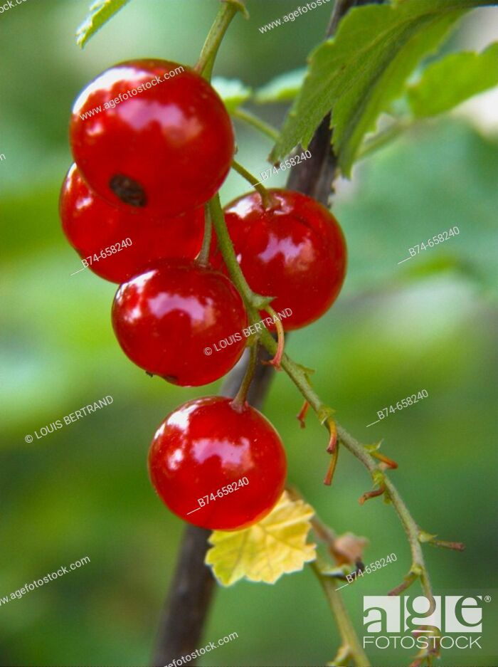 Stock Photo: Redcurrants (Ribes rubrum).