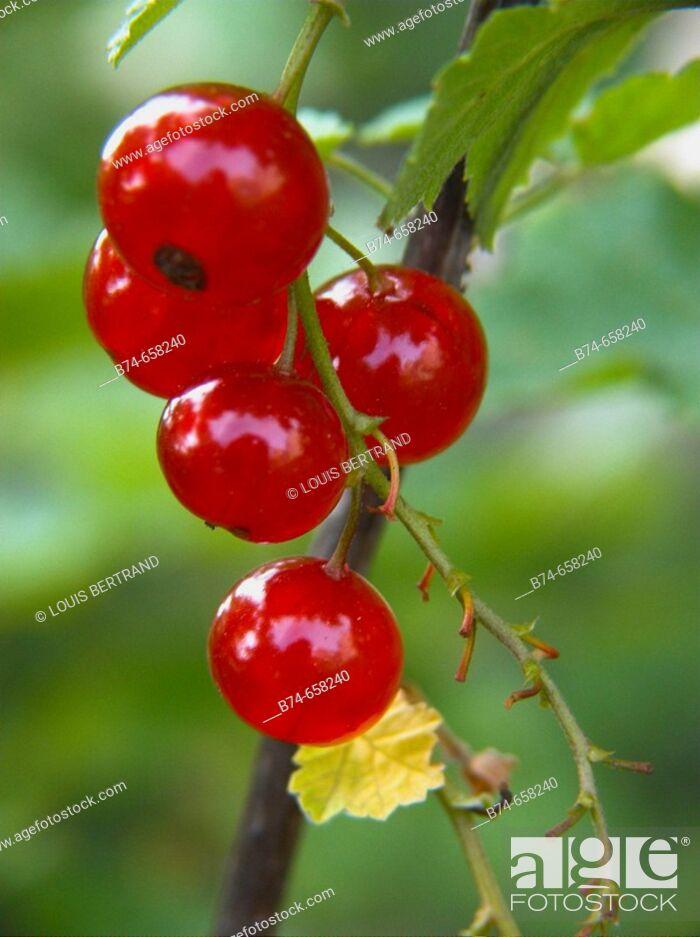 Stock Photo: Redcurrants (Ribes rubrum).