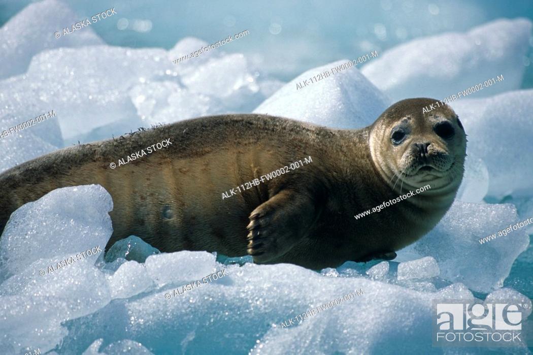 Imagen: Harbor Seal Pup on Ice Pack Tracy Arm SE Alaska Summer Fords-Terror Wilderness Area.