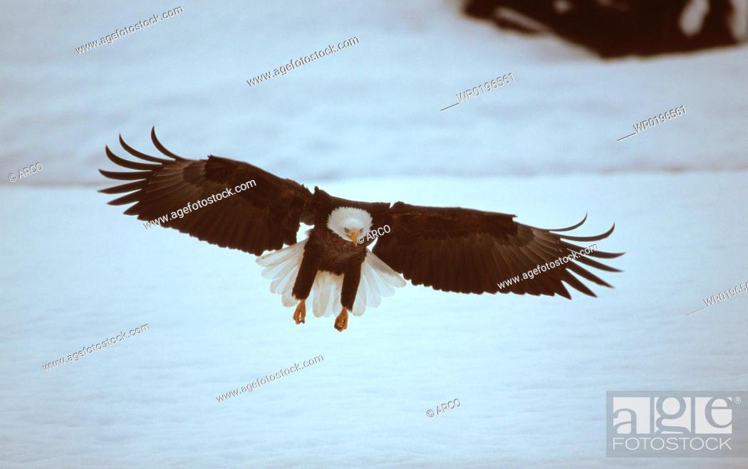 Stock Photo: Bald, Eagle, Chilkat, River, Alaska, USA, Haliaeetus, leucocephalus.