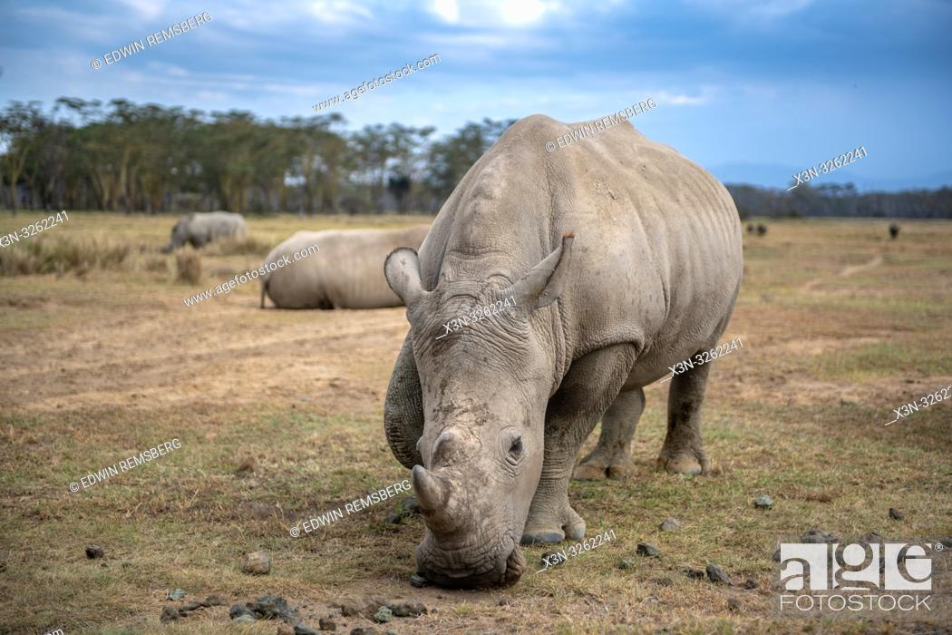 Stock Photo: White rhinoceros or square-lipped rhinoceros (Ceratotherium simum)Nakuru National Park, Kenya.