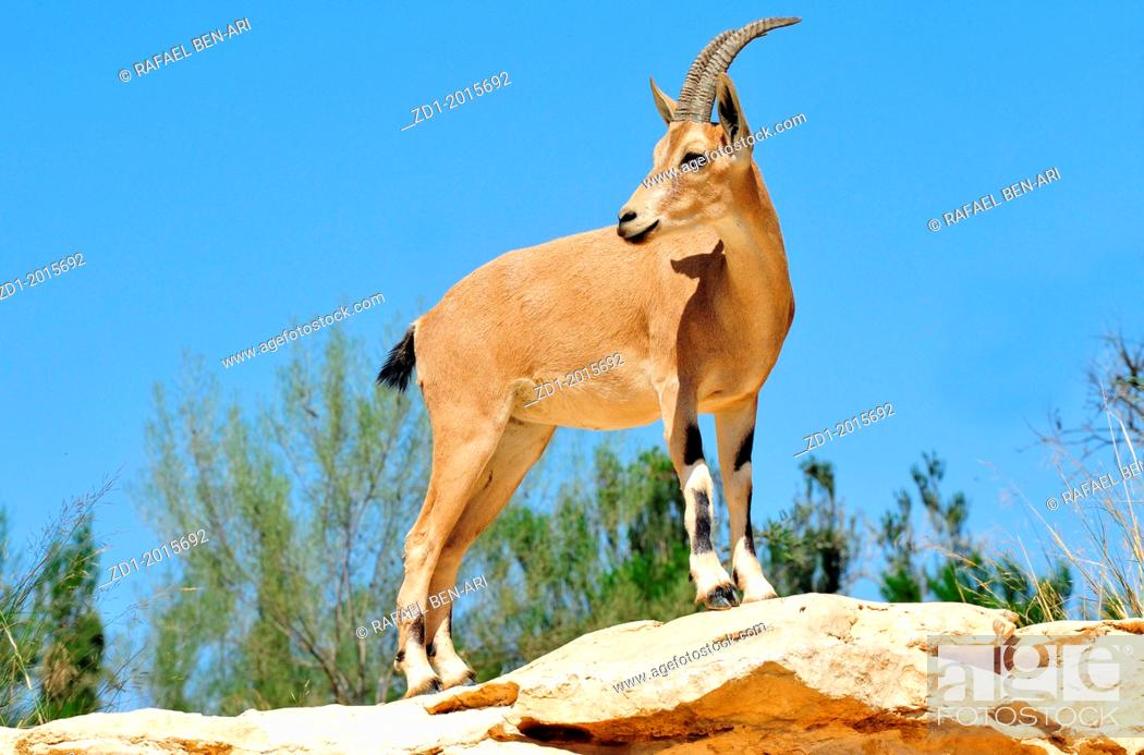 Stock Photo: Ibex Mountain goats near kibbutz Sde Boker.