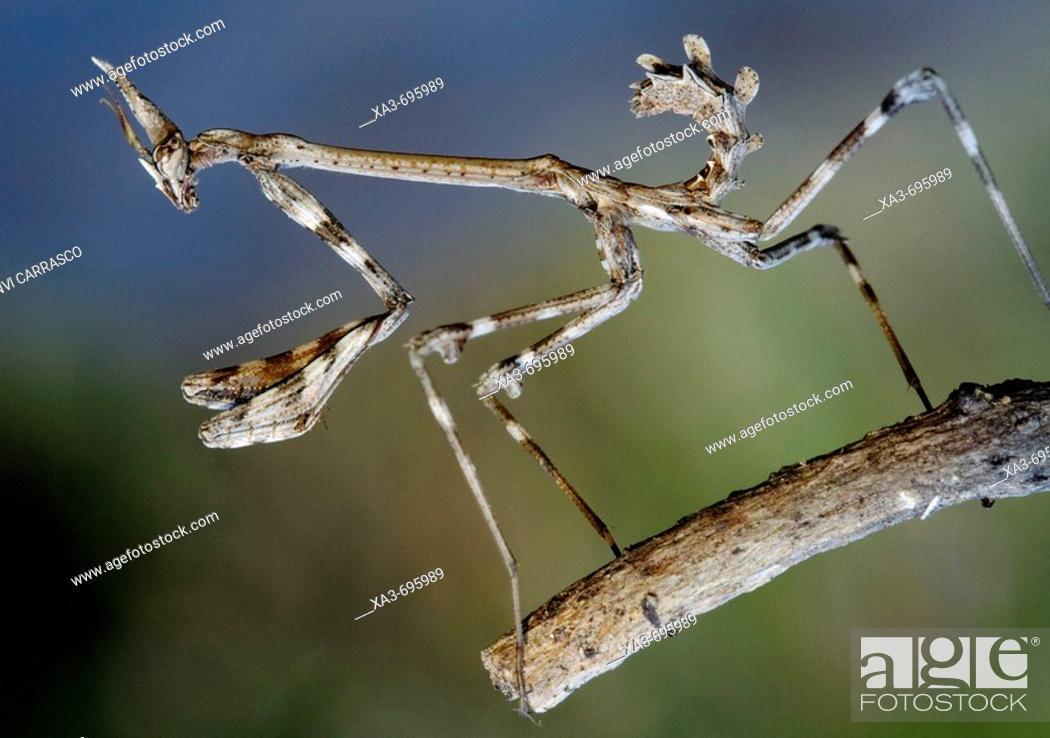 Stock Photo: Mantis (Empusa pennata) nymph.
